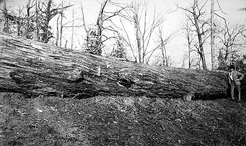 Giant red Oak Girdled and Killed to clear land; Bicknell Photograph Collection, North Carolina State Archives, call #:  PhC8_114, Raleigh, NC.
