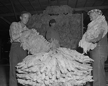 Workers packing tobacco into baskets for sale, King Roberts and Everette Clayton Tobacco Warehouse, Fuquay Springs, NC, 1950's. From the Heulon Dean Photo Collection, PhC.133, North Carolina State Archives, call #: PhC133_1957_293_B.