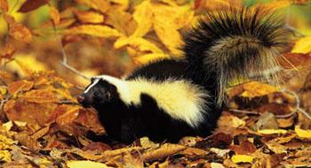 striped skunk - Skunk Pictures