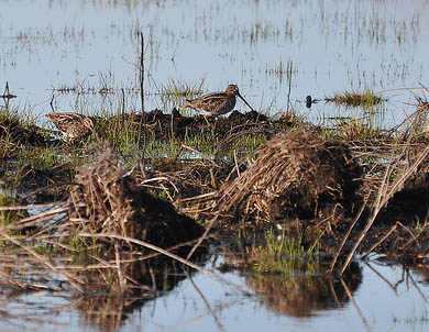 Wilson's Snipe, Pungo Lake National Wildlife Refuge, Hyde Co., North Carolina, USA. Photo by David L. Govoni.