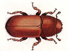 Southern Pine Beetle. Image courtesy of U.S. Department of Agriculture.