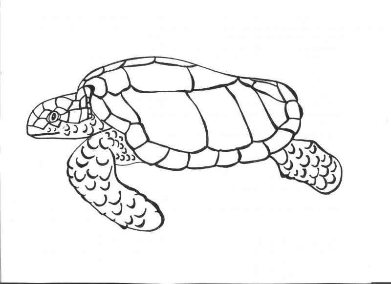 """<img typeof=""""foaf:Image"""" src=""""http://statelibrarync.org/learnnc/sites/default/files/images/completed.jpg"""" width=""""2338"""" height=""""1700"""" alt=""""Sea turtle drawing completed"""" title=""""Sea turtle drawing completed"""" />"""