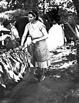 "Tobacco ""Putting in"" looping, near Wilson, NC, July 1938, photo taken by Baker. From Conservation and Development Department, Travel and Tourism Division Photo Files, North Carolina State Archives, Raleigh, NC, call #:  ConDev1246B."