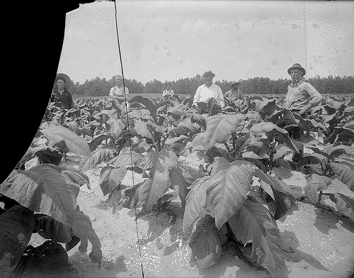 Group in a tobacco field, 1920s or 30s.