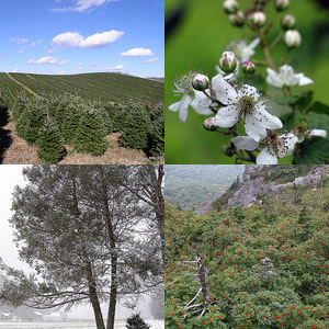 "Clockwise from top left: (1) ""Christmas Tree Production,"" photo courtesy of Flickr user 'Soil Science', Photo taken on October 19, 2010. (2) ""Blackberries to be,""Photo courtesy of Flickr user 'BlueRidgeKitties', photo taken on June 3, 2011 at Grandfather Mountain, NC. (3) ""Mountain Ash,"" Photo courtesy of Flickr user 'BlueRidgeKitties', photo taken on September 4, 2011 at Grandfather Mountain, NC. (4) ""Hemlock at the Church,"" photo courtesy of Melina Stuart. Photo taken on January 7, 2011 on the Blue Ridge Parkway."