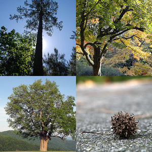 "Clockwise from top left: (1) ""Loblolly Pine,"" photo courtesy of Flickr user 'Konomike', Photo taken in Johnston County, NC. Posted on April 26, 2009. (2) ""Oak Tree and Bench,"" photo courtesy of Flickr user 'Bumeister',  Image taken in Chapel Hill, NC on UNC-Chapel Hill's campus. Photo taken on November 19, 2007. (3) ""Sweet Gum Seed Tree Pod,"" Photo courtesy of Flickr user 'Ivy Dawned',  Photo taken on September 24, 2008. (4) ""Tulip Poplar!"" photo courtesy of Flikr user 'BlueRidgeKitties', Photo taken on May 20, 2010 in Laxon, NC."