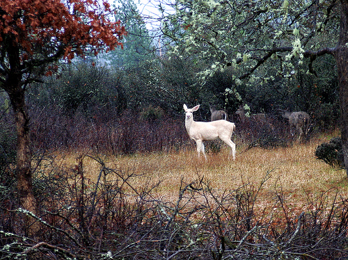 """White Deer."" Image courtesy of Flickr user Beyond the Trail."