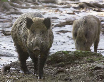 The Wild Boar May Have Been Brought To North America By Christopher Columbus