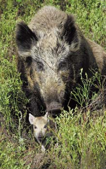 Wild Boar | NCpedia