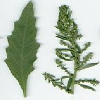 Chenopodium ambrosioides, commonly known as Jerusalem oak, wormseed, and Mexican tea. Image courtesy of Herbal Safety (presented by University of Texas at Austin and El Paso).